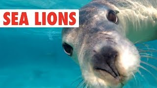 Download Funny Sea Lion/Seal Video Compilation   Dogs of the Sea Video