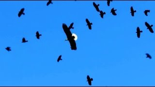 Download Bald Eagle Attacked By Flock of Crows Video