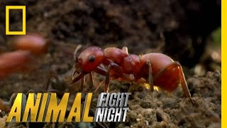 Download Long Live the Queen | Animal Fight Night Video