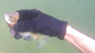 Download 4K CATCHING FISH BY HAND Underwater,Hold My Breath For 3 Minutes: Fishing Herping Nature CA AZ TX FL Video