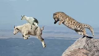 Download Mother Mountain Goat Protect Her Baby From Snow Leopard Hunting, Animals Hunt Fail Video