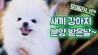 Download 포메라니안 새끼 강아지 입양 받았어요 (디바제시카 생일선물) 강아지 유튜버ㅣ디바제니 Video