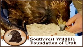 Download Eagle Hit By Car | Concussion & Neurological Issues Video