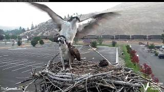 Download Iris and Louis Stop by Nest on Hellgate Osprey Cam – August 23, 2017 Video