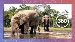 Download Baby Elephants Blow Bubbles and Trunk Wrestle in 360 5K Video