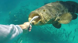 Download Goliath Grouper Devours Everything In Sight!! #SHARKWEEK Video