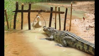 Download Amazing Man Show How To Trap Big Crocodile Using Duck Trap - How To Catch Crocodile In Cambodia Easy Video