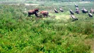 Download THE WILDEBEEST KILL BY THE HYENAS AND THE FOOD CHAIN Video