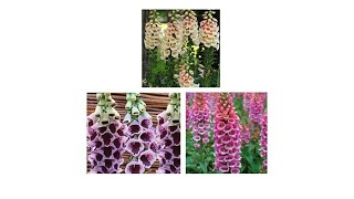 Download Moss Mountain Farm 3pack Foxglove Collection Video
