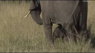 Download Safari Live : Jamie in the Masai Mara with a brand new baby Elephant June 07, 2017 Video
