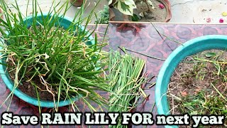 Download Save Rain lily for next year, How to save bulbs for next season Video