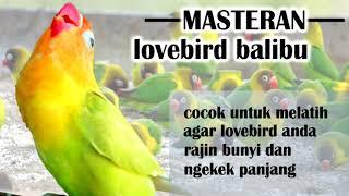 Download Masteran Lovebird Balibu Durasi Panjang Video