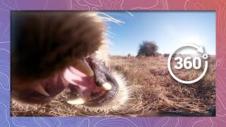 Download Eaten by a Lion in 360 5K | The Last View Seen by its Prey Video