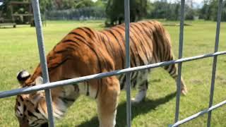 Download Kali tiger runs to Vacation at Big Cat Rescue! Video