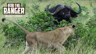 Download Incredible Scene | Lionesses Take On An African Buffalo Herd!!! (Introduced By Sheldon Zam) Video