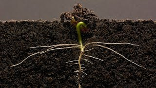 Download Bean Time-Lapse - 25 days | Soil cross section Video