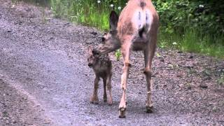 Download Doe and Newborn Baby Fawn.MTS Video