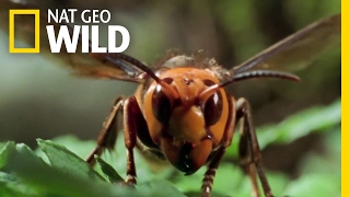 Download The World's Biggest Wasp | Bite, Sting, Kill Video