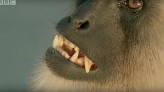 Download Monkey Leaders Battle | Monkey Warriors | BBC Video