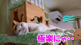 Download 猫部屋に設置したクーラーを初めて稼動させた結果、極楽空間に!? Neko-Cat loves the airconditioner Video