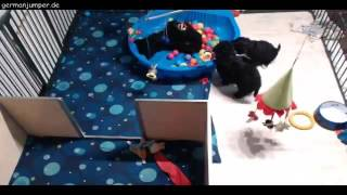 Download Portugiesischer Wasserhund Welpen A-Wurf Oktober 2016 Video