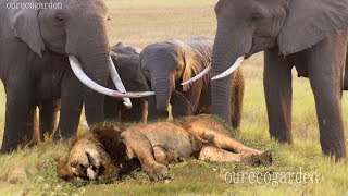 Download Lion vs bull Elephant Crocodile vs Elephant Lion vs Hyena Male lion attacks Animal Victim Fight back Video