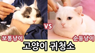 Download 고양이 귀청소: 순둥이 vs 보통반응 Cat Ear Cleaning: Easy Kitty vs Common Reaction Video