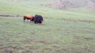 Download Bull vs yak part 1 Video