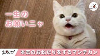 Download 本気のおねだりをするマンチカンの子猫ちゃん ♡ 【 PECOTV 】 Video