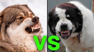 Download 5 Hunde, die einen Wolf töten können Video