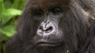 Download Silverback showing off to the females - Mountain Gorilla - BBC Video