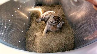 Download Incredibly Rare Siberian Tiger Release - GoPro Video of the Day Video