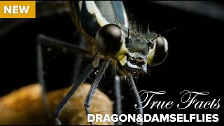 Download True Facts : Carnivorous Dragonflies Video