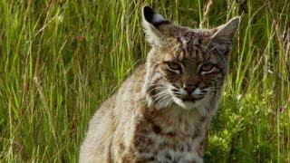 Download Bobcat Stalks a Pocket Gopher | North America Video