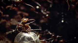 Download Ants Rip Queen's Legs Off | Empire Of The Desert Ants | BBC Earth Video