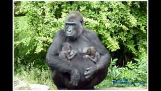 Download Baby gorilla tweeling - Baby gorilla twins - Gorilla gorilla gorilla Burgers Zoo Video