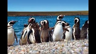 Download Puerto Madryn Argentina ,Punta Tombo, Magellan Penguins Colony in Ultra 4k Video