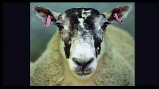 Download Laura Glendinning - The Bizarre World of Sheep Lung Bacteria Video
