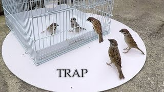 Download Do sparrows really go inside the cage? Video