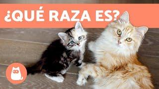 Download ¿Cómo saber la raza de tu gato? - TODAS LAS RAZAS DE GATOS Video