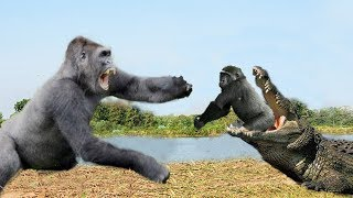 Download OMG! Crocodile attack Baby Gorilla very quickly, Mother Gorilla rescue Baby failed Video