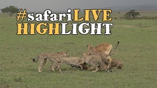 Download Cheetah take down a terrified Coke's Hartebeest! Video