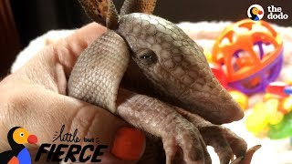 Download Tiny Armadillo Is Obsessed With Taking Baths | The Dodo Little But Fierce Video