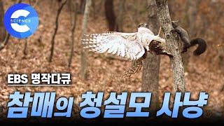 Download 청설모를 사냥하는 참매 (A hawk hunts down squirrel!) Video