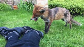 Download Wild Fox severs my shoe-lace, then bites my foot Video