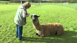 Download Clicker training: llama displays recently learned movements, as well as old ones. Video