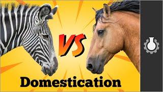 Download Zebra vs Horses: Animal Domestication Video
