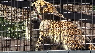 Download またまた怒られるアテネ - Again snow leopard is intimidate the Amur leopard Video