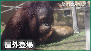 Download 屋外に出始めたオランウータン一家 Bornean Orang-utans Video