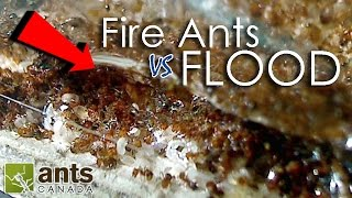 Download Fire Ants vs. Flood | What Happens to Ants When It Rains? Video